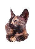 Jeune chat canadien de sphinx Photographie stock libre de droits