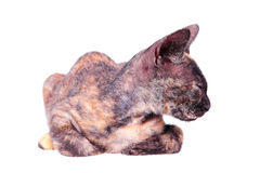Jeune chat canadien de sphinx Photographie stock