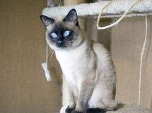 Jeune chat d'une chevelure lisse, groupe oriental du Siam sur un complexe de chat image libre de droits