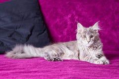 Jeune chat de ragondin du Maine Photographie stock libre de droits