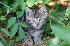 Jeune chat domestique Photo libre de droits