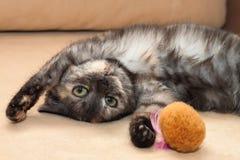 Jeune chat domestique photos libres de droits