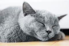 Jeune chat mignon dormant sur le plancher en bois Le Shorthair britannique Photos stock