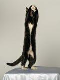 Jeune chat noir et blanc Photo libre de droits