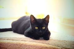 Jeune chat noir mignon Image libre de droits