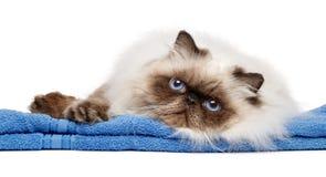 Jeune chat persan toiletté de colourpoint de joint image libre de droits