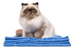 Jeune chat persan toiletté mignon sur une serviette bleue photo stock