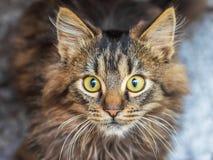 Jeune chat rayé avec un regard de regarder au background_ foncé image libre de droits