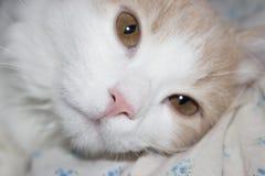 Jeune chat rouge Image stock