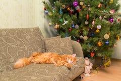 Jeune chat rouge mignon de race de Maine Coon dormant sur le sofa dans t image stock