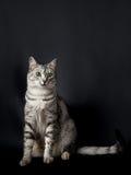 Jeune chat sérieux, portrait de chat Photographie stock libre de droits