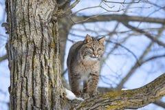 Jeune chat sauvage dans l'arbre Photographie stock