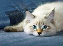 Jeune chat sibérien de colorpoint de masquarade de neva photographie stock