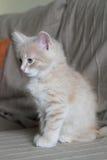 Jeune chat sur le sofa Images libres de droits