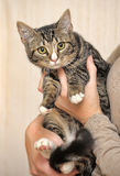 Jeune chat tigré Photographie stock