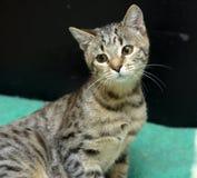 Jeune chat tigré Images stock