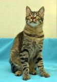 Jeune chat tigré beau photographie stock
