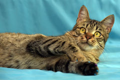 Jeune chat tigré beau images libres de droits