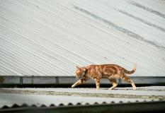 Jeune chat tigré de gingembre rouge marchant à travers un toit de fer ondulé photo stock