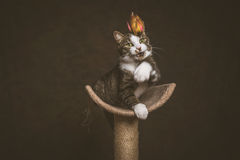 Jeune chat tigré espiègle vigilant avec le coffre blanc se reposant sur rayer le courrier sur le fond foncé de tissu Photos stock