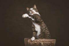Jeune chat tigré espiègle vigilant avec le coffre blanc se reposant sur rayer le courrier sur le fond foncé de tissu Photographie stock