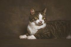 Jeune chat tigré mignon avec le coffre blanc sur le fond foncé de tissu Photo libre de droits