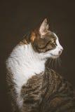 Jeune chat tigré mignon avec le coffre blanc sur le fond foncé de tissu Photos libres de droits