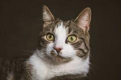 Jeune chat tigré mignon avec le coffre blanc sur le fond foncé de tissu Photographie stock libre de droits