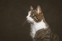 Jeune chat tigré mignon avec le coffre blanc sur le fond foncé de tissu Images libres de droits