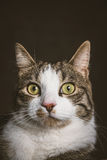 Jeune chat tigré mignon avec le coffre blanc sur le fond foncé de tissu Photographie stock