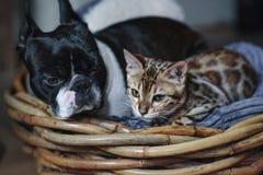 Jeune chaton de chat du Bengale avec Boston Terrier images libres de droits