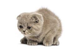 Jeune chaton de Foldex se couchant Image stock