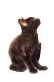 Jeune chaton se rayant Image stock