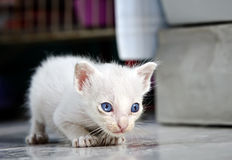 Jeune chaton thaïlandais images stock