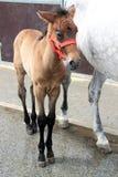 Jeune cheval brun Photographie stock