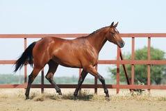 Jeune cheval brun de trakehner Photographie stock libre de droits