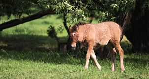 Jeune cheval de poulain frôlant sur le pré vert près de la saison de Forest In Spring Or Summer au Belarus banque de vidéos