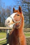 Jeune cheval drôle Photographie stock