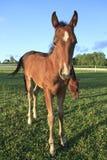 Jeune cheval et mère frôlant sur l'herbe verte Images stock