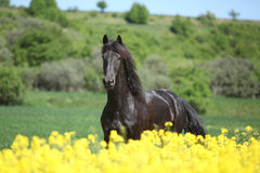 Jeune cheval frison fonctionnant derrière le gisement de colza photographie stock libre de droits