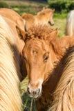 Jeune cheval islandais Image libre de droits