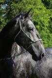 Jeune cheval lipizzan de race se tenant à la ferme rurale de cheval Images libres de droits