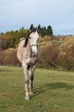 Jeune cheval rouan sur le pâturage Images libres de droits