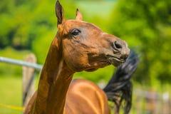 Jeune cheval rougeâtre espiègle une journée de printemps image libre de droits