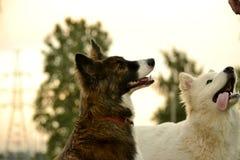 Jeune chien énergique sur une promenade Éducation de chiots, cynology, formation intensive de jeunes chiens Crabots de marche en  photo libre de droits