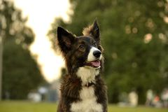 Jeune chien énergique sur une promenade Éducation de chiots, cynology, formation intensive de jeunes chiens Crabots de marche en  photo stock