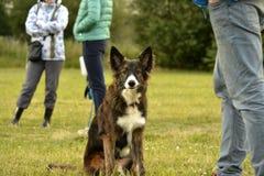 Jeune chien énergique sur une promenade Éducation de chiots, cynology, formation intensive de jeunes chiens Crabots de marche en  image stock
