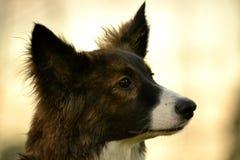 Jeune chien énergique sur une promenade Éducation de chiots, cynology, formation intensive de jeunes chiens Crabots de marche en  image libre de droits