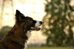 Jeune chien énergique sur une promenade Éducation de chiots, cynology, formation intensive de jeunes chiens Crabots de marche en  photographie stock libre de droits