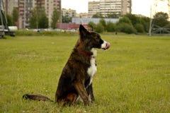 Jeune chien énergique sur une promenade Éducation de chiots, cynology, formation intensive de jeunes chiens Crabots de marche en  images stock
